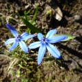 Frühlingswildblau 2