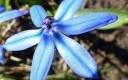 Frühlingswildblau 3