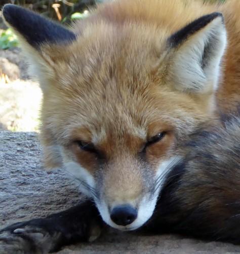 Fuchs-stör mich nicht