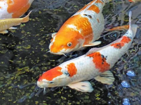 Koi Fisch