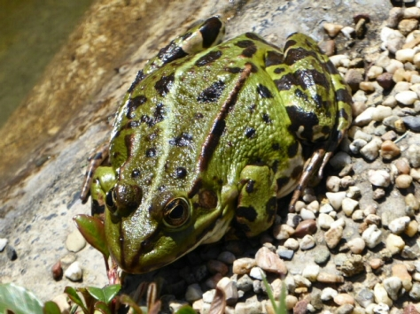 Frosch im April.jpg
