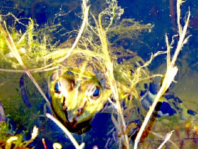 Der Frühlingsfrosch am frühen Frühlingsabend.