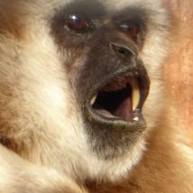 Gibbon, Tierpark-Germendorf, Freitagswintertag mit Tieren bei Schietwetter https://www.google.de/#q=tierpark+germendorf